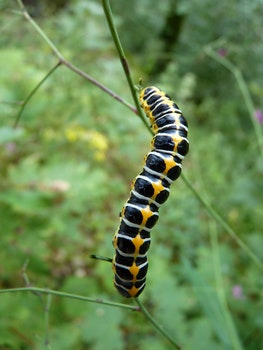 Black White and Yellow Caterpillar on the Stem