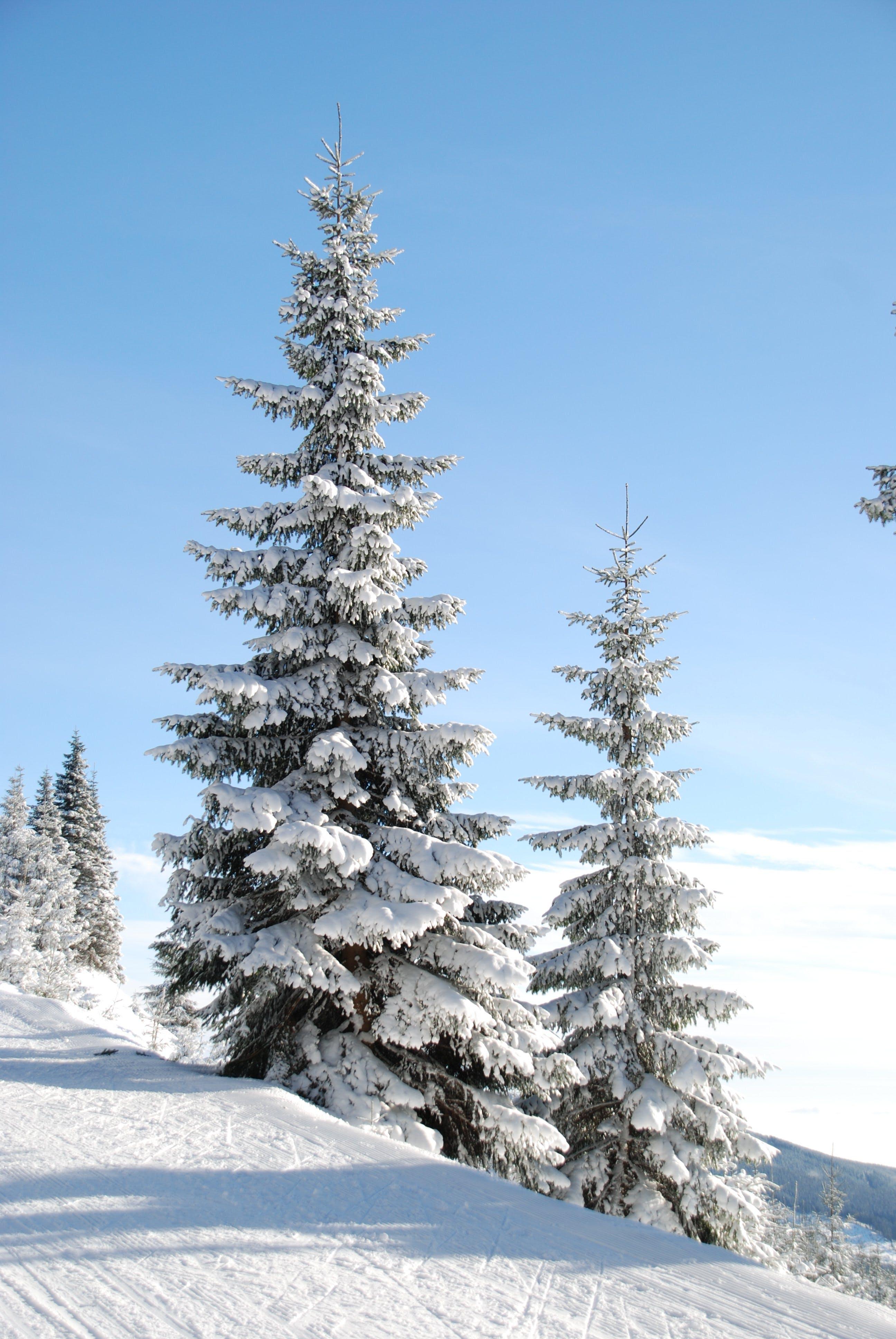 Snow Cap Pine Tree