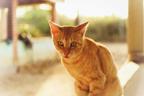 Close-Up Shot of an Orange Tabby Cat