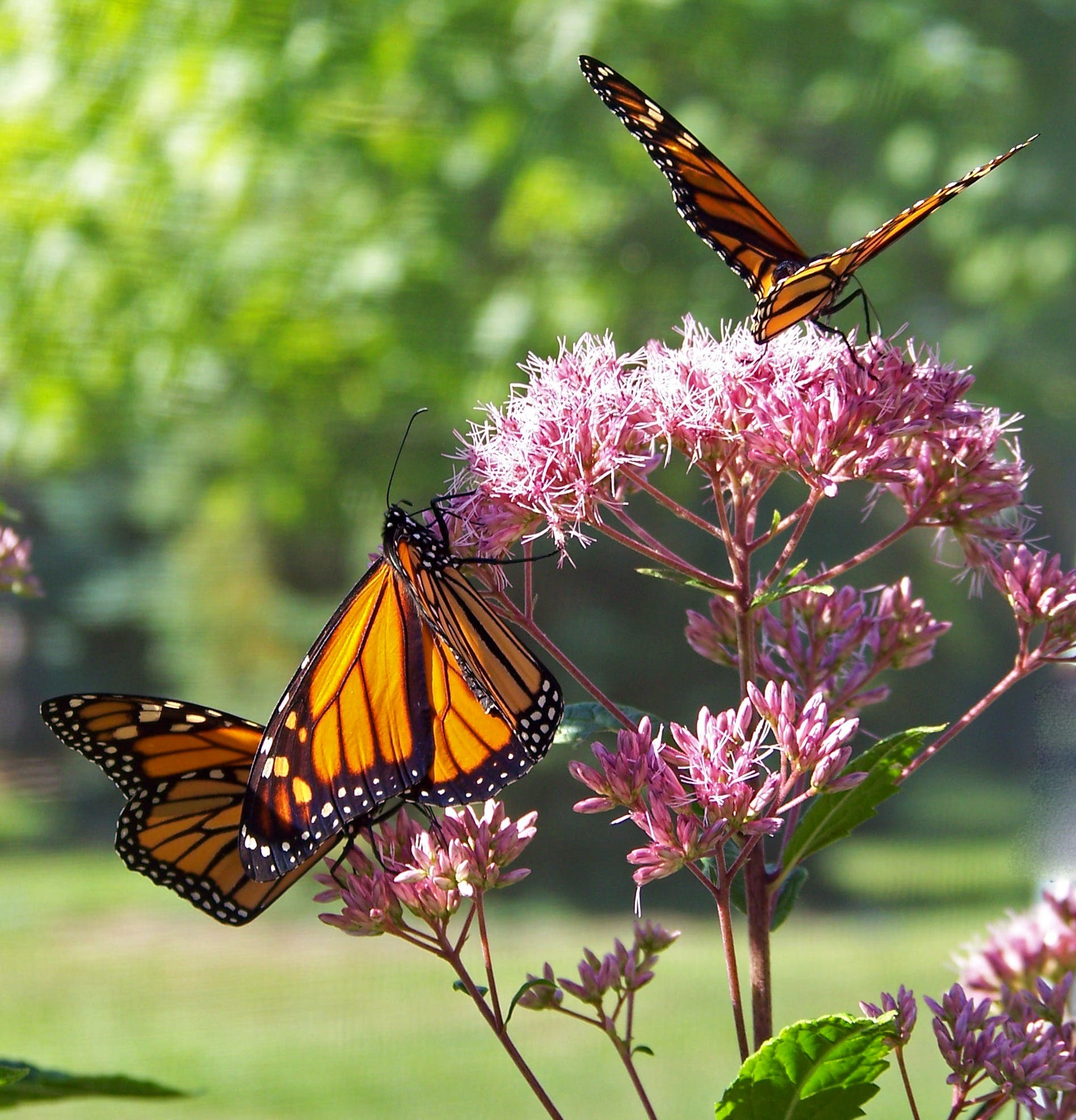 Monarch Butterflies on Pink Petal Flowers during Daytime