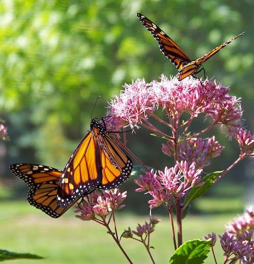 Бесплатное стоковое фото с бабочки, красочный, насекомое, опылять