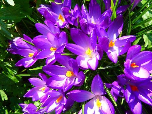 คลังภาพถ่ายฟรี ของ ดอกบัวดิน, ดอกโครคัส, ดอกไม้, ธรรมชาติ