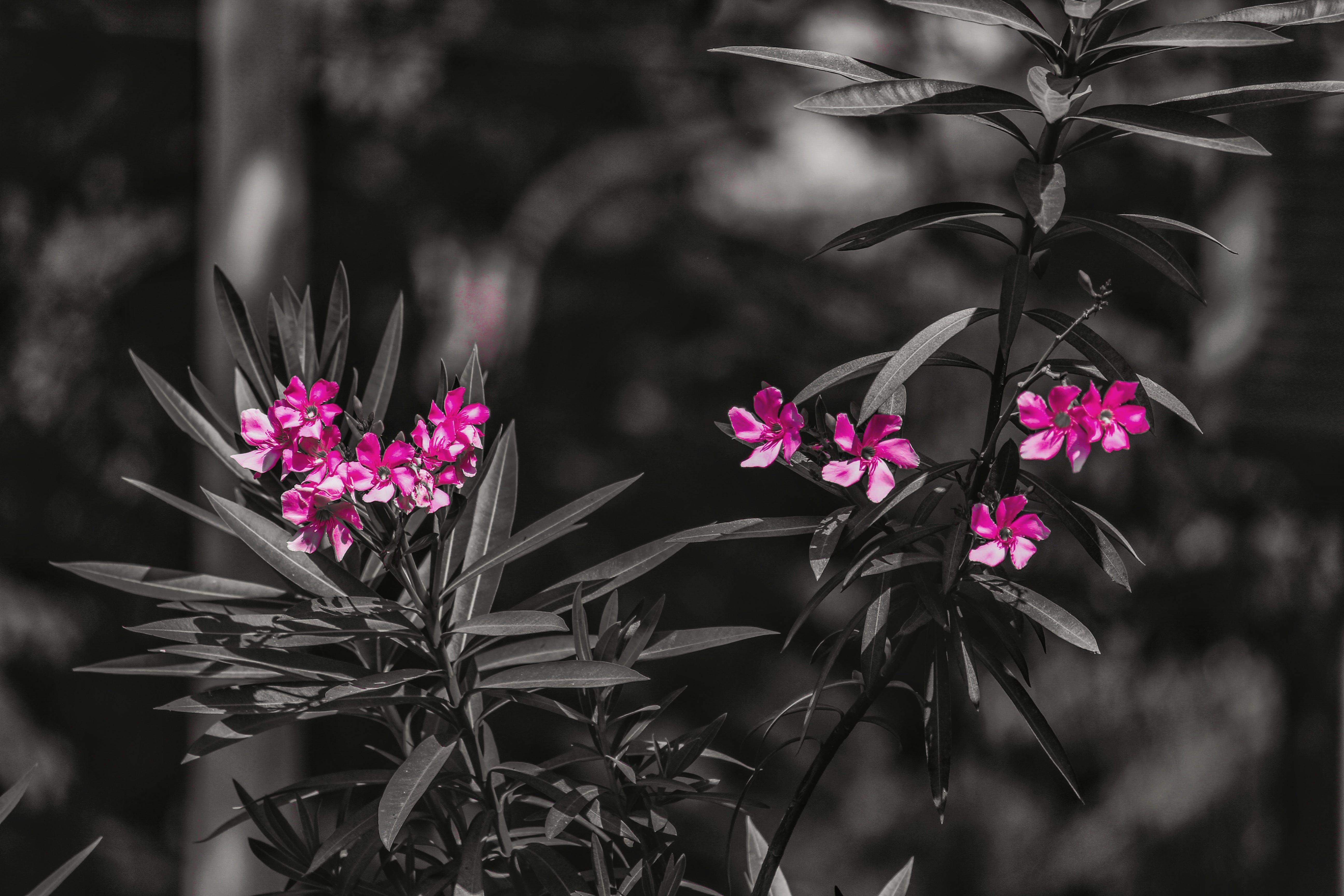 Free stock photo of pink, pink flowers