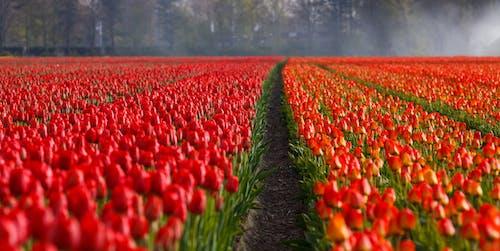 Бесплатное стоковое фото с красный, поле, природа, тюльпаны