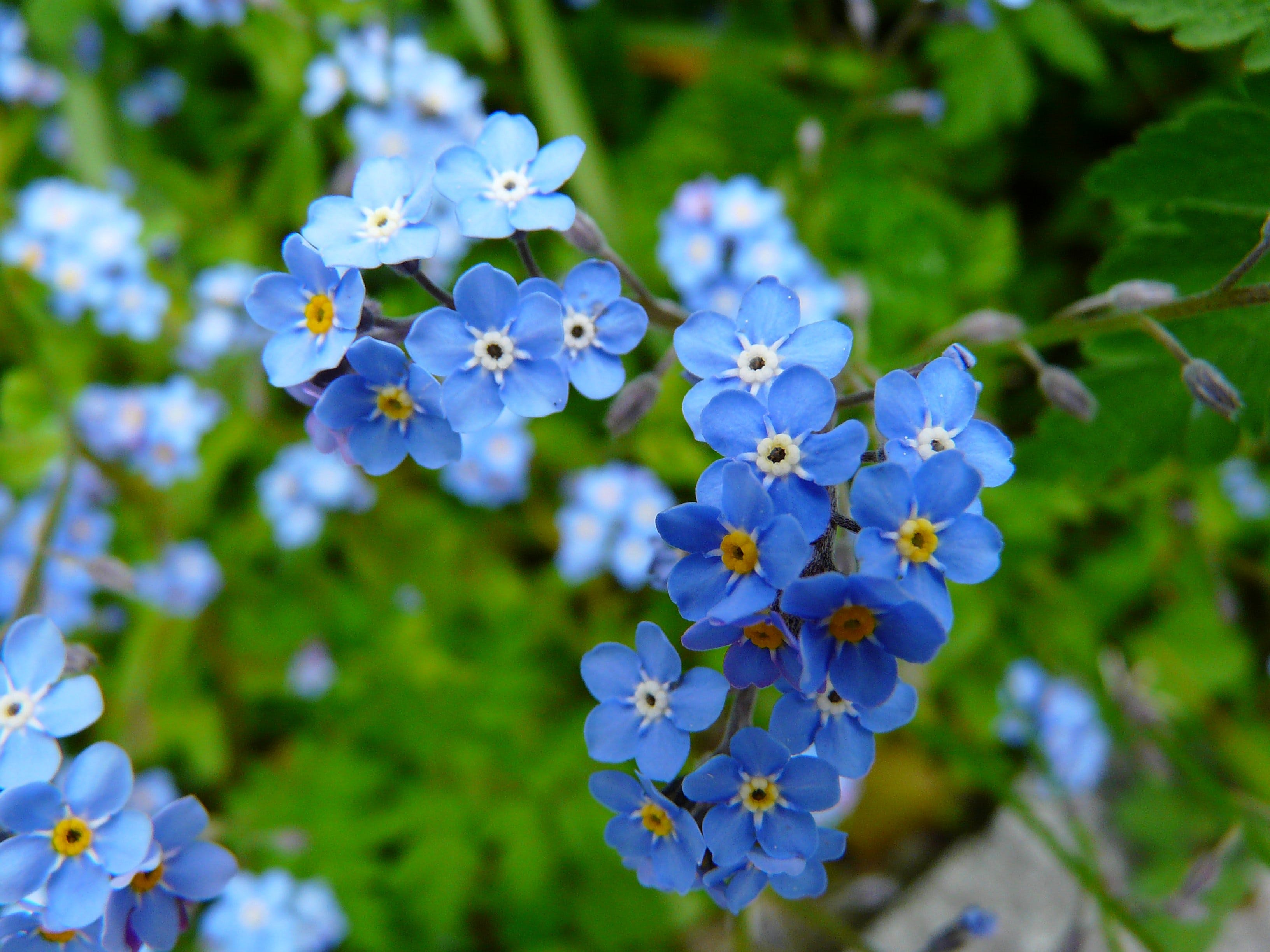 Blue 5 Petaled Flowers
