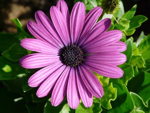 Foto stok gratis alam, berkembang, bunga, bunga aster