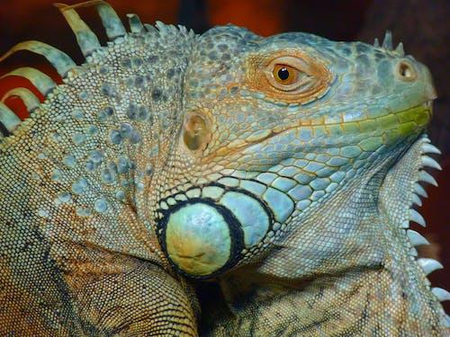 hayvan, hayvan fotoğrafçılığı, iguana, kertenkele içeren Ücretsiz stok fotoğraf