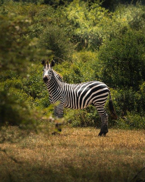 Imagine de stoc gratuită din Africa, african sălbatic, animal