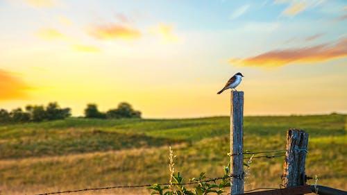 Ảnh lưu trữ miễn phí về bình yên, Cánh đồng ngô, cánh đồng xanh, chim câu