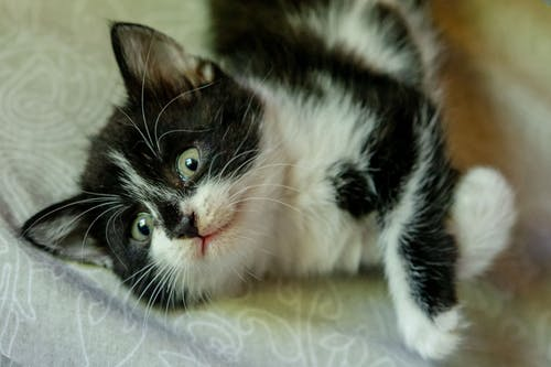 Black and White Cat Lying on Blue Textile