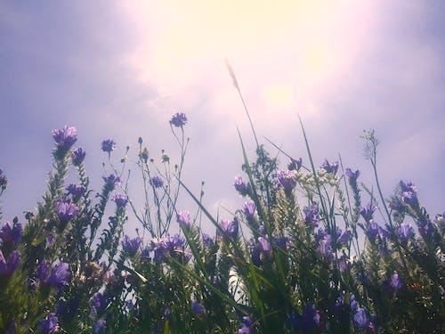 Free stock photo of aesthetic background, irises, lilac