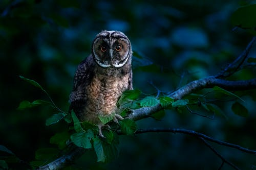 Brown Owl on a Tree Branch