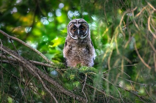 Brown Owl Perched on a Tree Branch