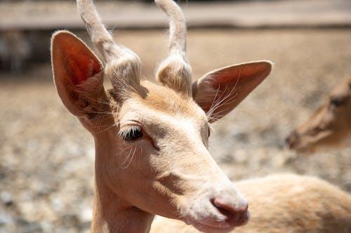 Fotos de stock gratuitas de ciervo, cornamenta, cuernos