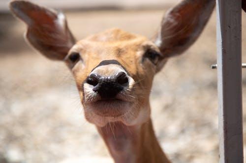 Fotos de stock gratuitas de ciervo, fauna, nariz