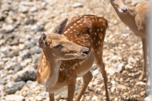 Fotos de stock gratuitas de ciervo, ciervo manchado, cría de ciervo