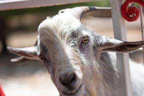 Fotos de stock gratuitas de cabra, cuernos, fauna