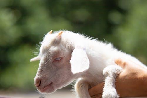 Fotos de stock gratuitas de bebé, cabra, cabra blanca