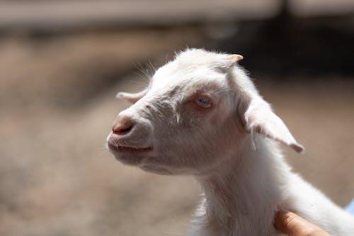 Fotos de stock gratuitas de cabra, cabra blanca, chivo