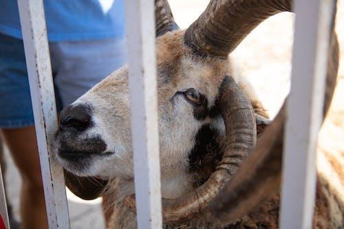Fotos de stock gratuitas de ariete, carnero, cuernos