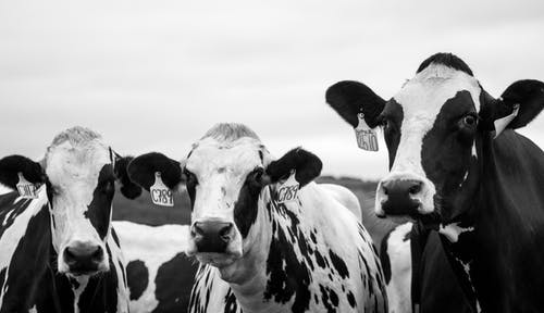 Grayscale Photography of Three Cows