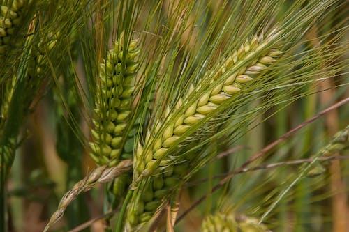 フード, 工場, 穀類, 粒の無料の写真素材