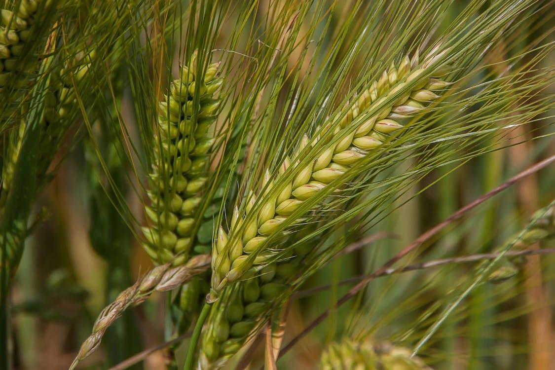 Kostnadsfri bild av gröda, korn, lantbruk