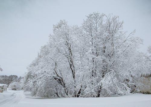 Snow Covered Trees over a Gloomy Sky