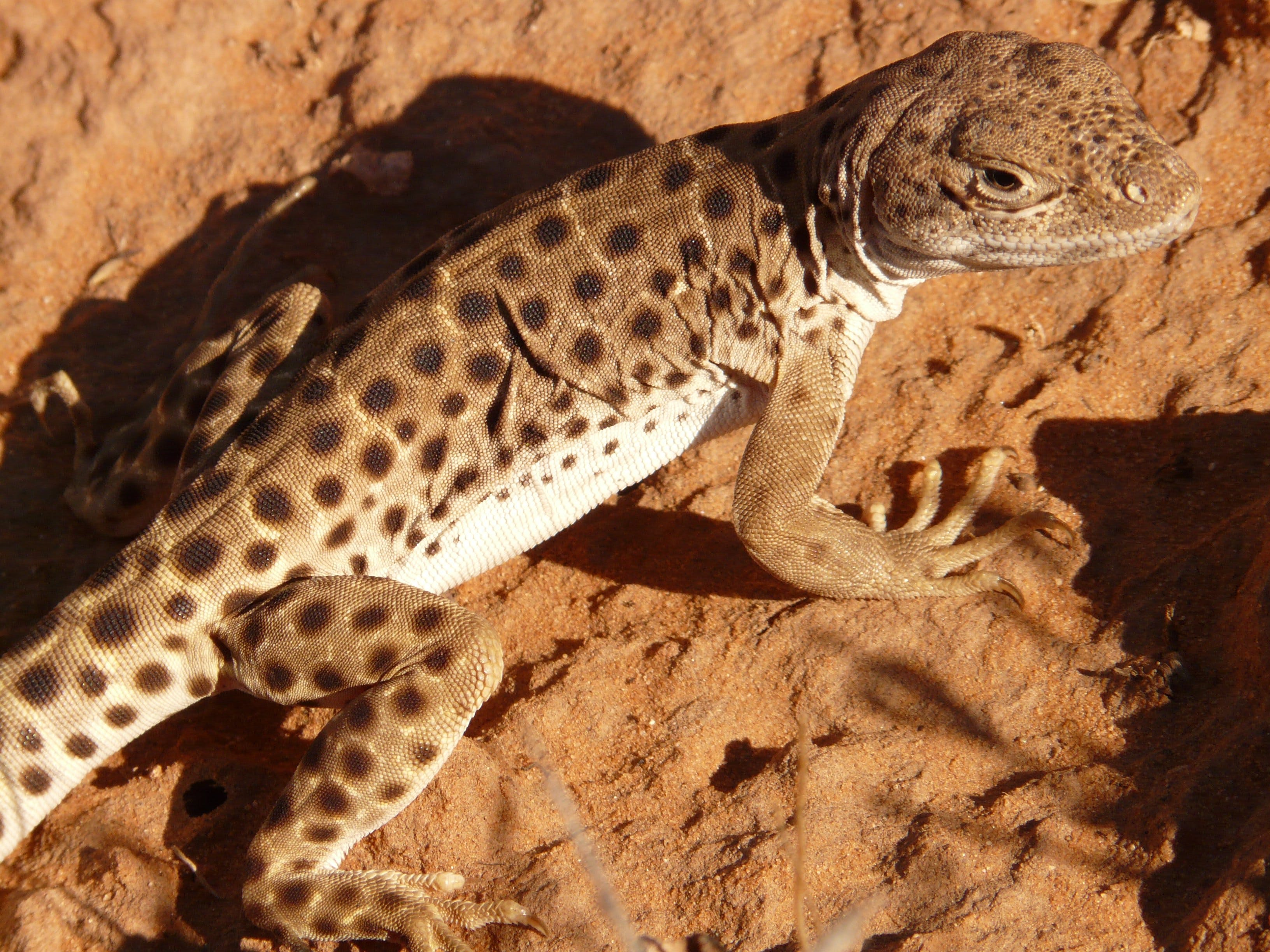 Brown and White Lizard Standing on Brown Surface