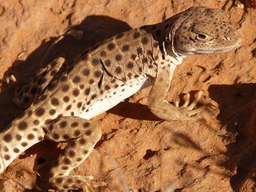 Základová fotografie zdarma na téma divočina, fotografování zvířat, hnědá, ještěrka