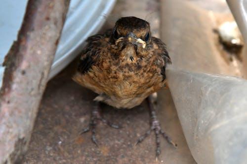 Darmowe zdjęcie z galerii z dziki ptak, kos, niemowlę