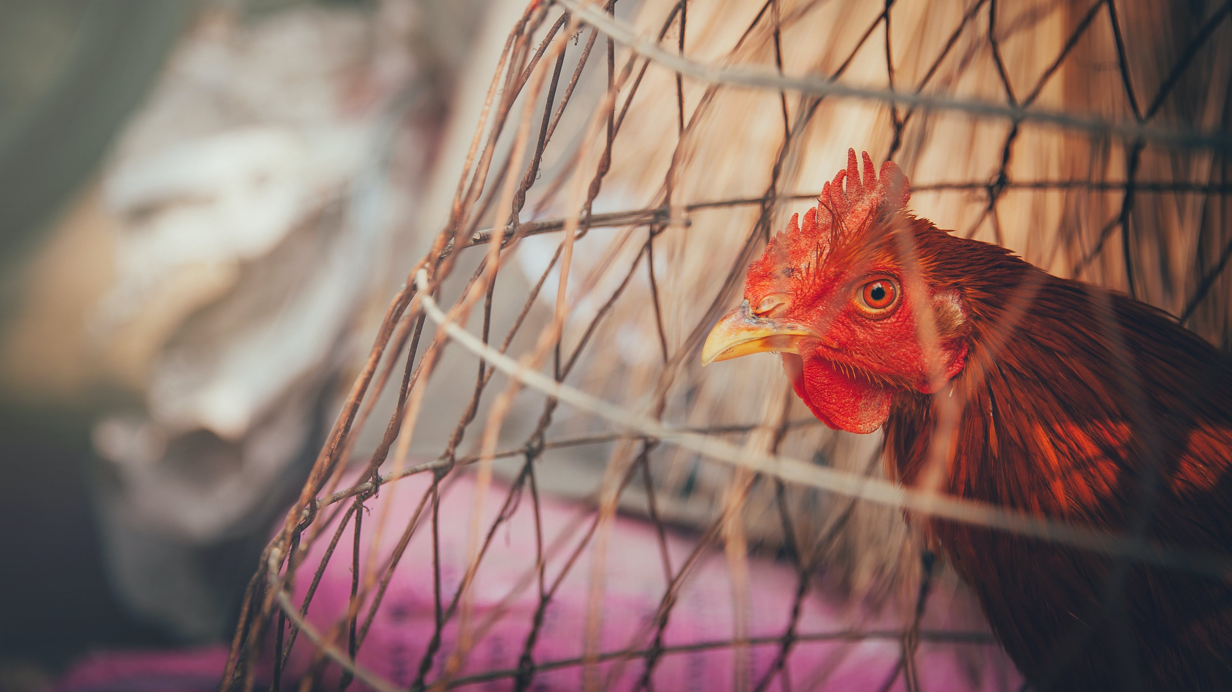 Red Rooster on Brown Wooden Cage