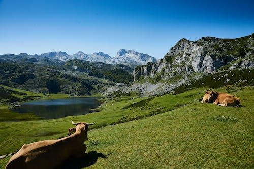 Základová fotografie zdarma na téma denní, denní světlo, hory, hospodářská zvířata