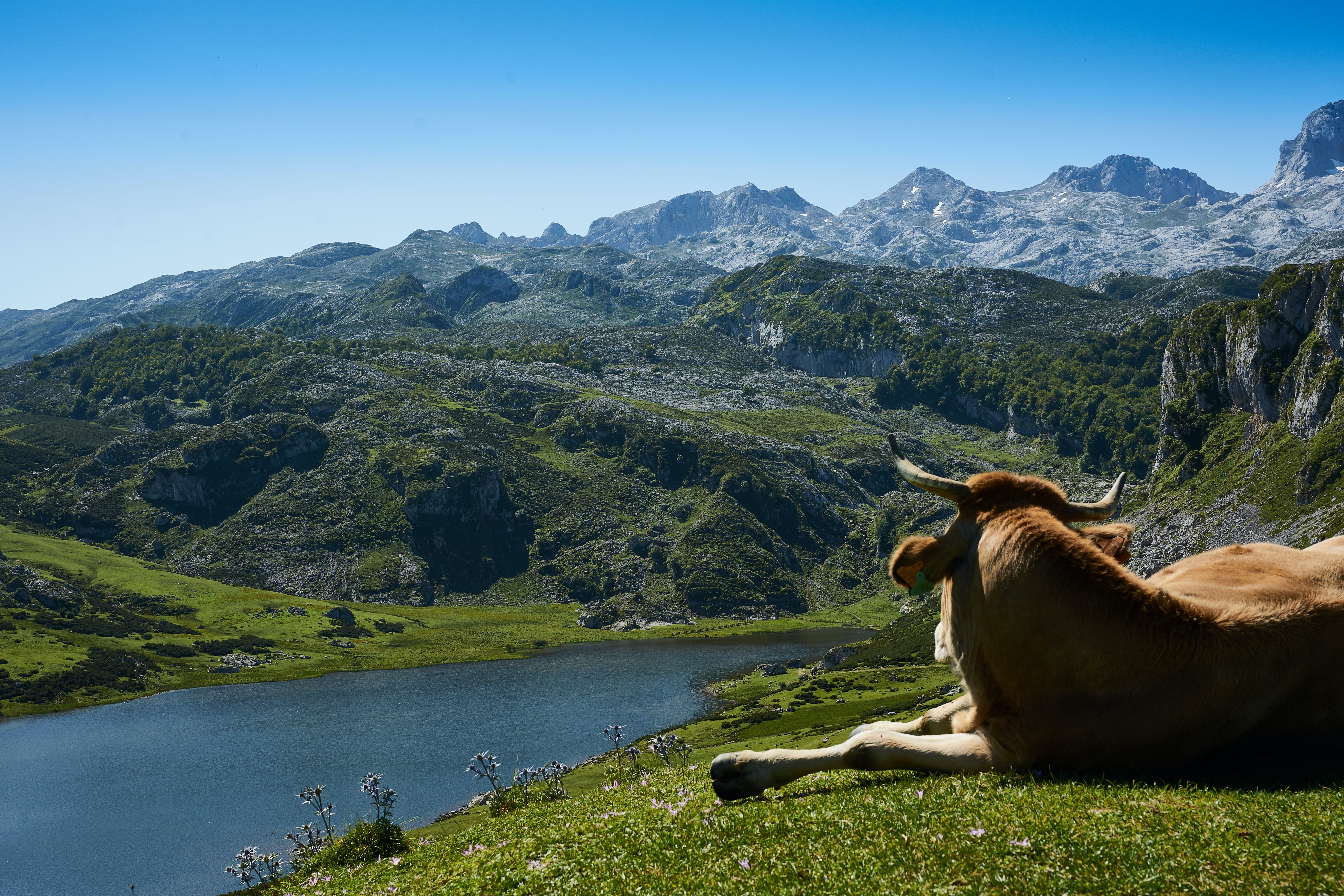 Brown Cattle Lying on Grass Field Watching Body of Water Surrounded by Mountains