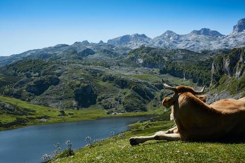 Δωρεάν στοκ φωτογραφιών με outdoorchallenge, αγελάδα, βουνά, γρασίδι