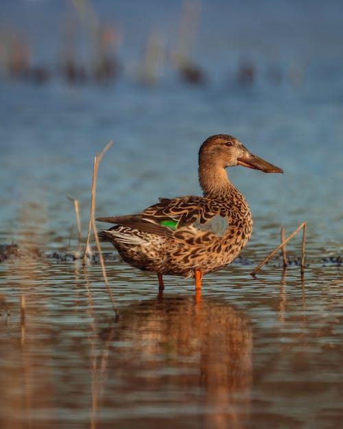 A Mallard Duck on the Water