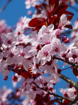Red Pink and White Petaled Tree during Daytime
