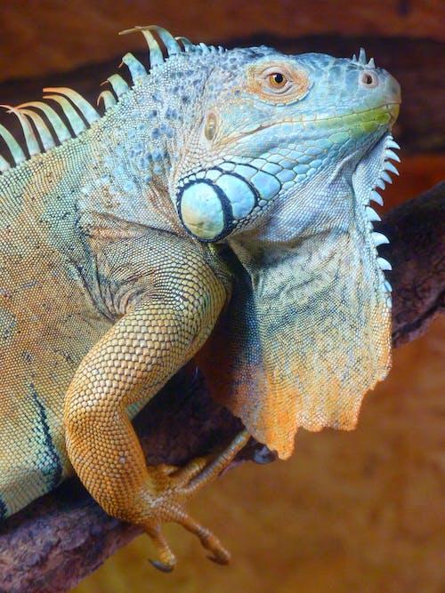 Δωρεάν στοκ φωτογραφιών με iguana, iguanidae, δαγκάνα, ερπετό