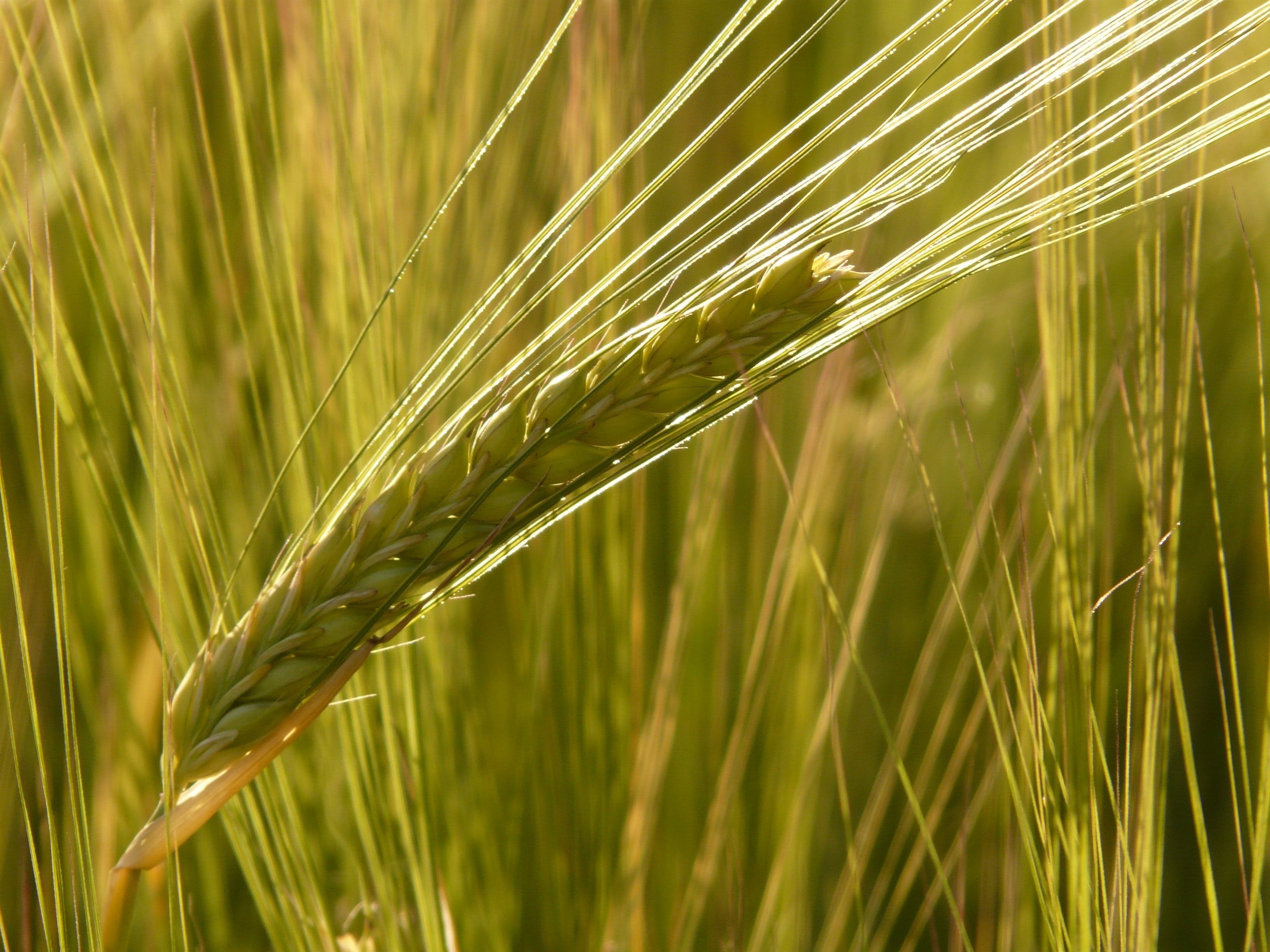 Shallow Focus of Wheat Grains