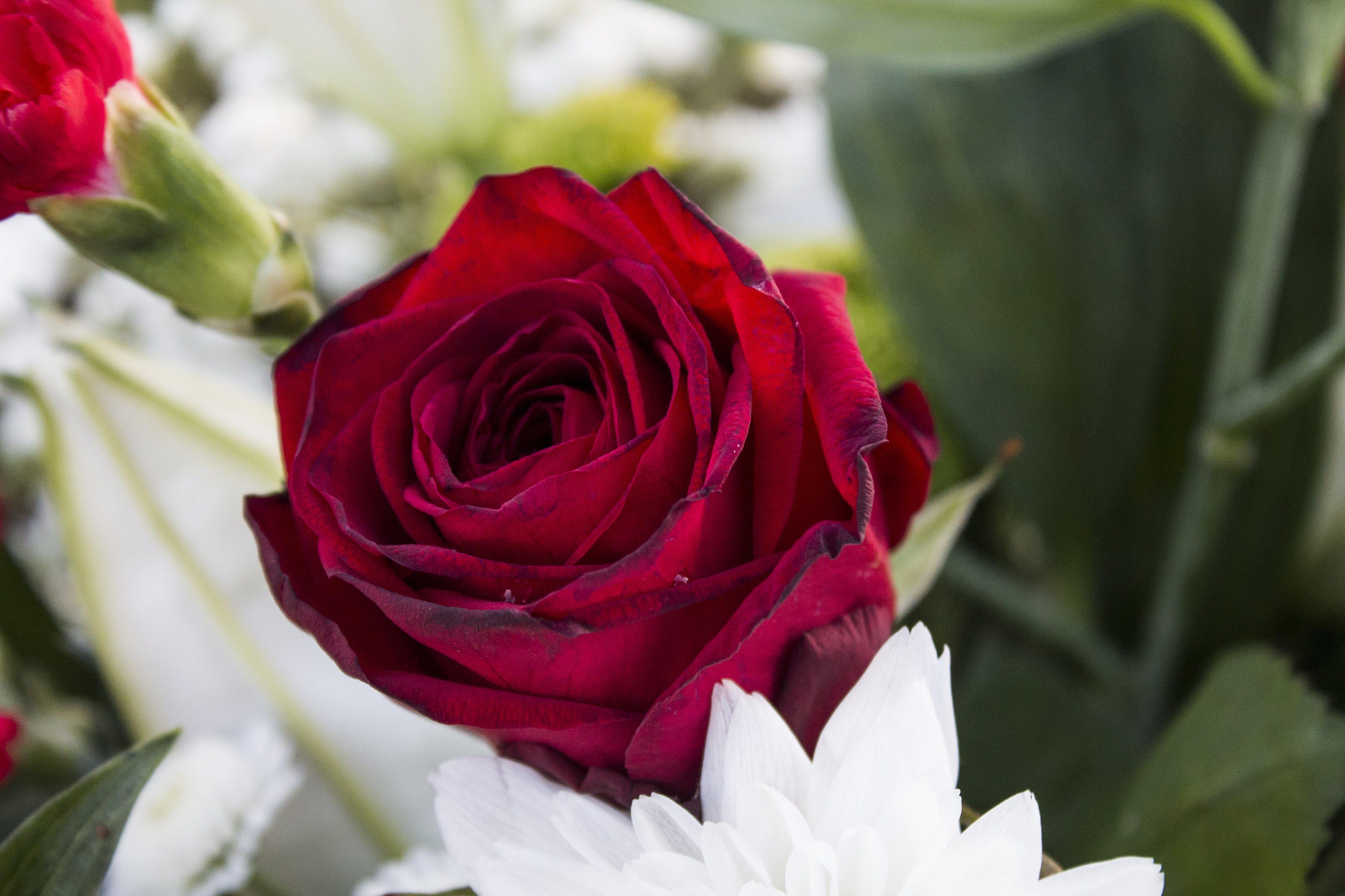 Kostenloses Stock Foto zu blumen, flora, liebe, natur