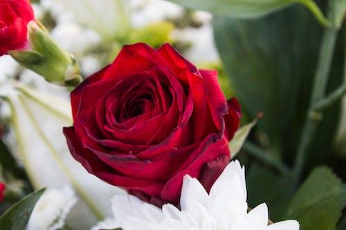 Ingyenes stockfotó növényvilág, piros, rózsa, szerelem témában