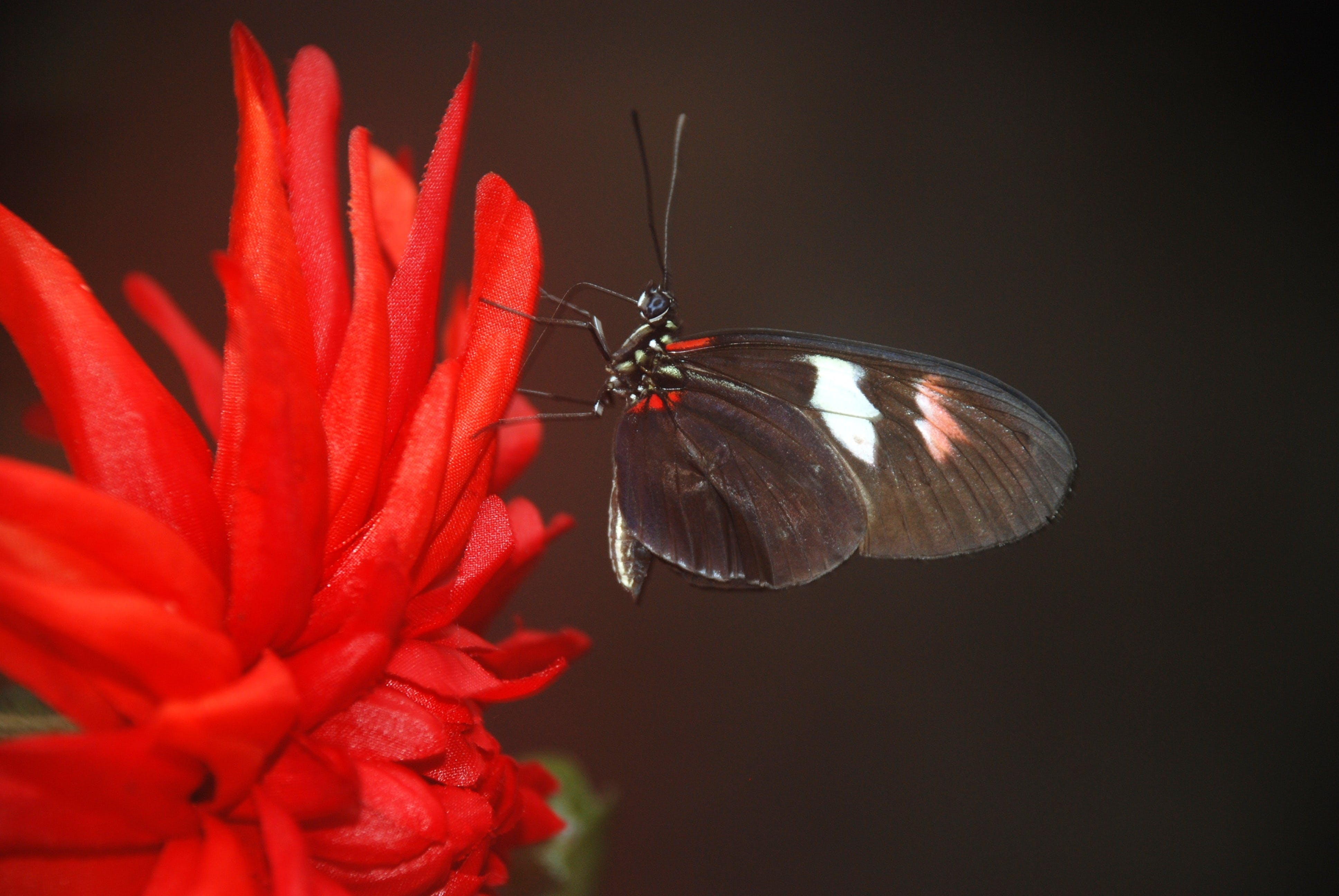 Black and White Butterfly on Red Multi Petaled Flower