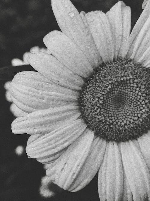 Immagine gratuita di bel fiore, bianco e nero, bouquet