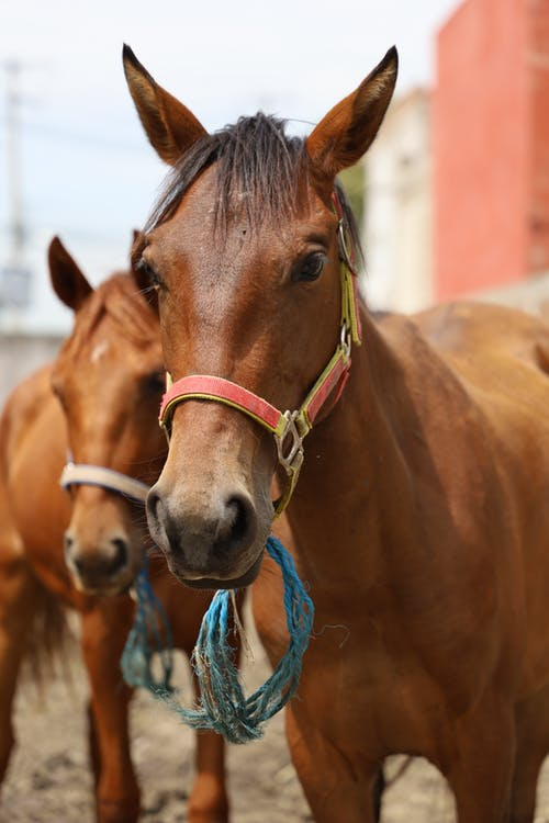 Brown Horse With Blue Rope on Head