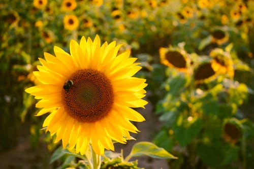 Selective Focus Photo of Yellow Sunflower