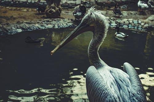 Darmowe zdjęcie z galerii z dzika przyroda, natura, pelikan, pióra