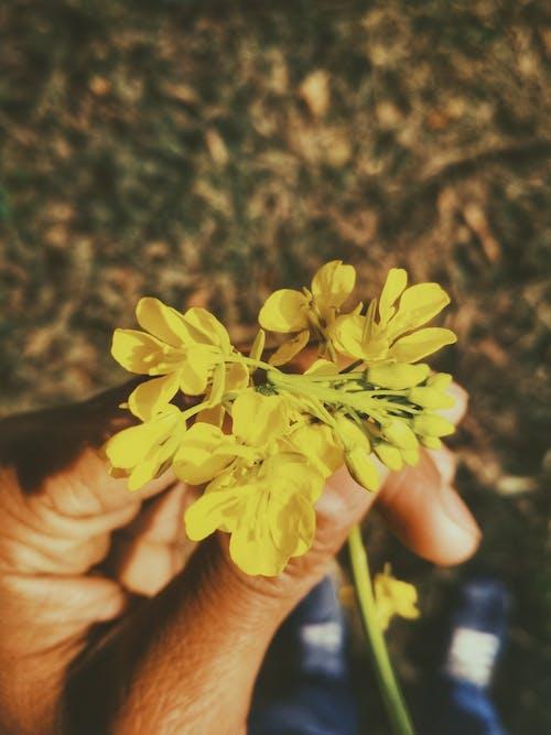 Linke Hand Der Person, Die Cluster Blütenblatt Gelbe Blume Hält