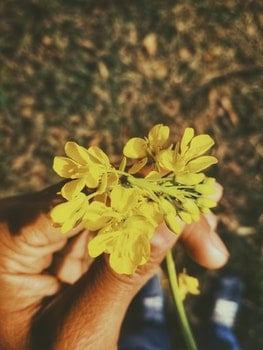 Person's Left Hand Holding Cluster Petaled Yellow Flower