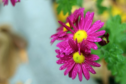 Free stock photo of purple daisies