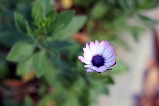 Free stock photo of flower, daisy